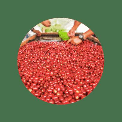 Cereza de café de Finca el Vergel Risaralda Colombia