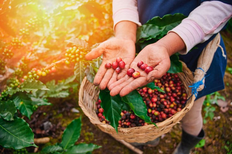 Cerezas de café maduras